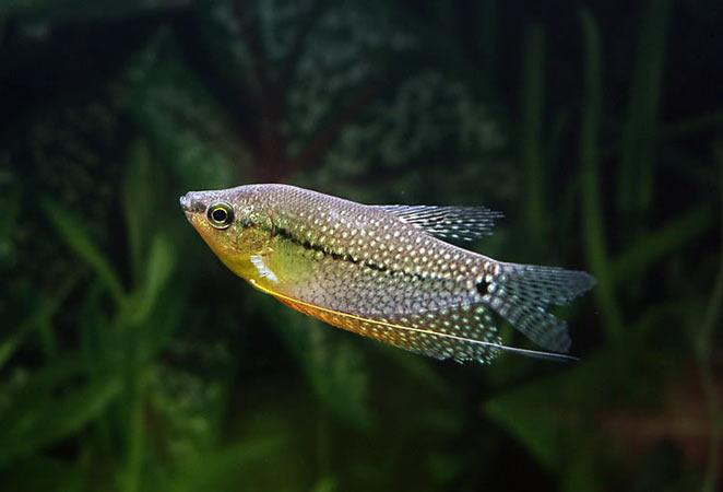 Ryba nie urośnie większa od akwarium